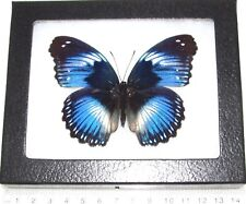 REAL FRAMED BUTTERFLY BLUE HYPOLIMNAS SALMACIS AFRICA