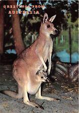 B43863 kangaroo kangourou animals