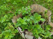 Sweet Mint Seeds 25+ seeds per package. Grown in PA.