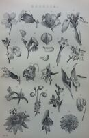 ANTIQUE PRINT DATED C1870'S COROLLA ENGRAVING PLANTS FLOWERS BOTANY BOTANICAL