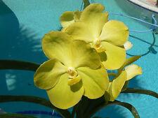 Orchid Vanda Ascda. Suksamran Gold X Nopporn Gold Exotic Tropical Plant