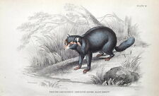 CRAB EATING RACCOON, Jardine hand coloured antique animal print 1843