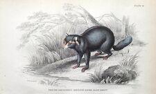 CRAB EATING RACCOON, Jardine hand coloured antique animal print 1843