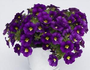 Calibrachoa Trailing Mini Petunias Million Bells 'Velvet' Plug Plants Pack x6