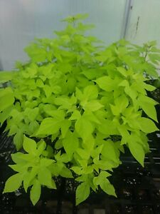 SWEET POTATO VINE IPOMOEA LIME IN 4 INCH POT FREE SHIPPING!