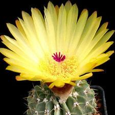 Notocactus buiningii exotic flowering yellow  parodia rare cactus cacti 50 SEEDS