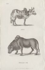 "1800 Antique Engravings - ""African Sheep"", ""Indian Ox"", ""Zebu"" & ""Pecari"" - Shaw"