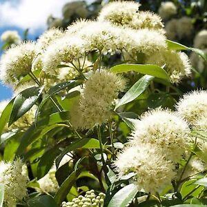 LEMON MYRTLE SEEDS BACKHOUSIA CITRIODORA NATIVE FLOWERING SHRUB 20 SEED PACK