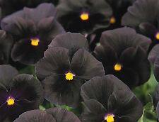 10 Noir Pur PANSY SEEDS Halloween II Blooming tous la saison, rares, Comestibles Flo