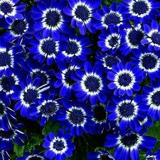 GUT 50 Daisy Samen Saatgut Seeds Blumen Seeds DIY Garten Schönen