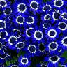 50X Daisy Samen Saatgut Seeds blaue Gänseblümchen Samen DIY Garten Schönen GUT