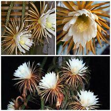 50 semi di Selenicereus grandiflorus ,piante grasse,seeds cactus