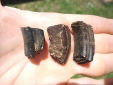 3 Uncommon Giant Beaver Molar Teeth Florida Fossils Rodent Tooth Jaw Extinct Nr