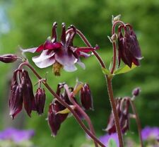 PERENNIAL FLOWER AQUILEGIA COLUMBINE WILLIAM GUINNESS 0.4 GM ~ APPROX 320 SEEDS