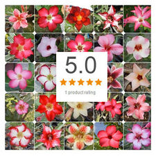 "200 SEEDS ADENIUM OBESUM DESERT ROSE ""MIXED OF TYPE"" Tracking NO, Free Ship"