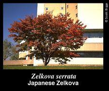 15 Semillas Zelkova Serrata (Olmo de Agua) Código 935