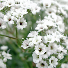 Gypsophila 'Snowflake' Seed Fast Growing Perennial Good Cut Flower Early Bloom