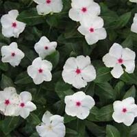 Vinca- Periwinkle- Bright Eyes- 50 Seeds