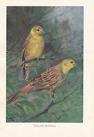 C1914 Natural History Estampado ~ Amarillo Banderitas Escribano Cerillo ~