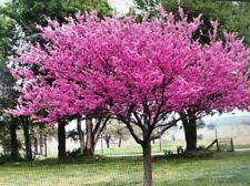 8 Eastern Redbud Tree Cuttings ! Beautiful Tree Live Tree Cuttings Easy