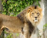Nature WILD LION Glossy 8x10 Photo Animal Print Wall Art Poster Big Cat