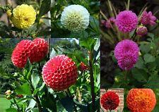 25 Samen  Dahlia Pompon - Pompondahlien Bunte Mischung