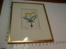 Original 1830's hand colored Engraving E. D. Smith Del, yellow DAFFODILS