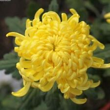 100 Pc  yellow Chrysanthemum Flower Seeds bright color Home Garden