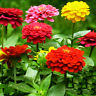 50 Colorful Zinnia Seeds Zinnia Elegans youth-and-old-age Garden Flowers