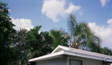 Washingtonia Filibusta Hybrid Hardy Palm Seeds!