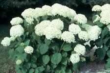 Hortensie Annabell weiß, sicher in der Blüte großblumig 40-60 im Topf gewachsen