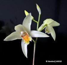 Bletilla ochracea. Nice groundorchid. Seldom offered!