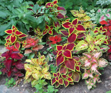 50+  COLEUS, RAINBOW MIX ,  SHADE LOVING EASY ANNUAL-INDOOR PLANT FLOWER SEEDS