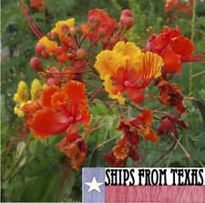 CAESALPINIA PULCHERRIMA, PRIDE OF BARBADOS, MEXICAN BIRD OF PARADISE, 15 SEEDS