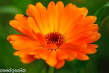 Calendula, Ball's Orange Heirloom Seeds - Non-Gmo - Untreated - Open Pollinated!