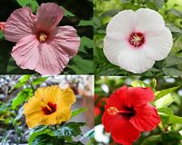 100 Hibiscus Flower Seeds Mixed Perennial Exotic Decorative Bonsai Plant in Home