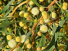 'RARE SALT WATTLE',SEEDS,Acacia ampliceps,FLOUR,BUSH TUCKER,FRUIT TREE