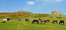 Haytor Dartmoor Ponies Devon Photo Canvas 10 x 22 inch panoramic (UK)