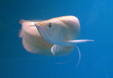 TRUE ALBINO SILVER AROWANA - RARE MONSTER FISH - DRAGONFISH - RED EYE AROWANA