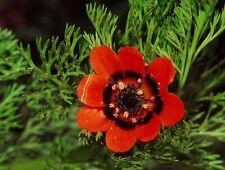 Seeds Rare Adonis Summer Red Flower Annual Outdoor Garden Cut Organic Ukraine