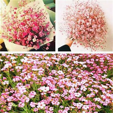 FD4201 Gypsophila Paniculata Flower Seeds Babys Breath Home Garden Decor 50PCs♫