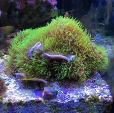 Live Coral Branching neon Green Star Polyp GSP w/ purple base (2 Inch frag)