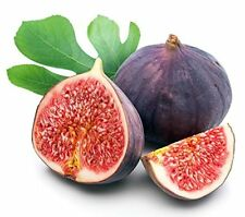 "Chicago Edible Fig Plant Tree Ficus Garden Hardy - 2.5"" Pot"