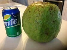 New listing Super Giant Melon Size Indian Sweet White Guava Tree Fruit Weighs Over 4 Pounds