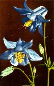ALPINE FLOWERS, ALPINE COLUMBINE, Aquilegia alpina, VINTAGE CARD, CIRCA 1960