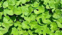 Gotu Kola Centella asiatica indische Heilpflanze Ayurveda TCM Gedächtniskraut