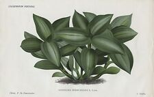 1886 GOODYERA RODIGASIANA Antique Botanical Print LINDEN