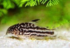 10 (ten) x Corydoras nanus (Rare Catfish)