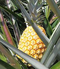 Ananas comosus - Pineapple Piña Ananá Abacaxi Ananasso Анана́с ανανάς, - 8 seeds