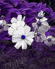 "8 x 10 Metallic Art Photograph ""Purple Forest & White"" Wall Decor Picture (SME)"